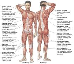 muscular system - systems of the human body, Muscles